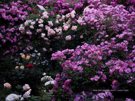 つるバラの庭 風景