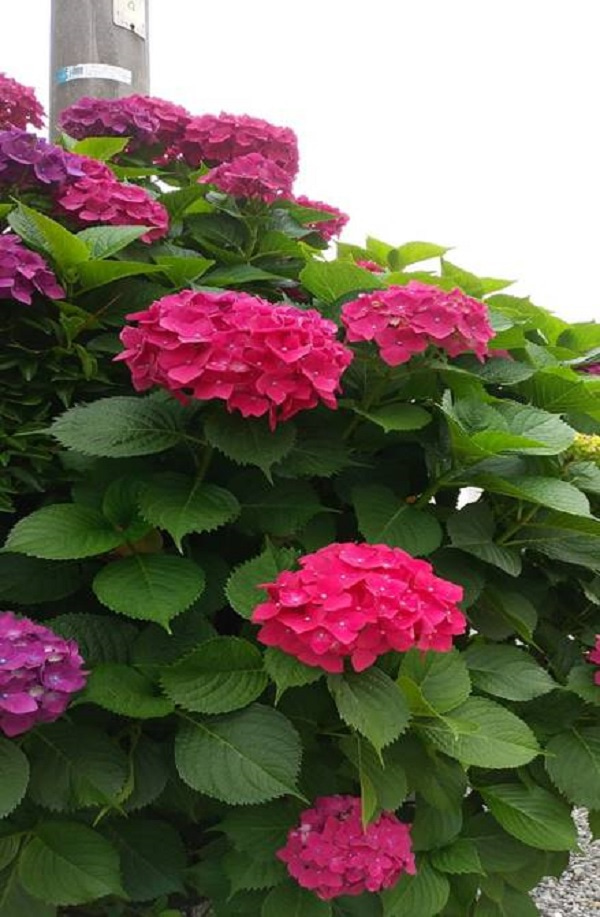 ≪花談義659≫ 頑張って我が家の花たちを送ります。久留米のはなさんからのお便りです。の記事より
