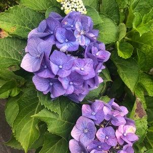 綺麗な紫陽花が咲いていましたの画像