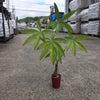 パキラの植え替え  観葉植物の画像