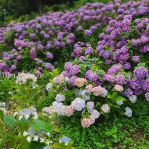 紫陽花に癒される☆の画像