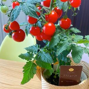 トマト栽培してみた♡の画像