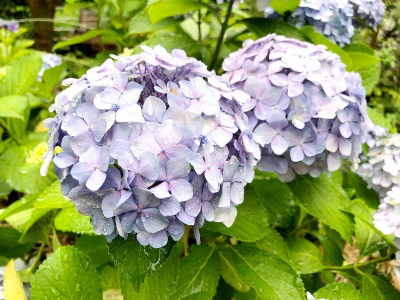雨の紫陽花image