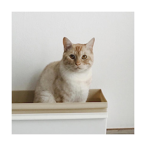 .こんにちは。ミサエちゃんのアシスタントをやってます。クリーム猫のモナカです1歳で...の画像