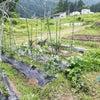 畑の野菜が開花し始めました。の画像