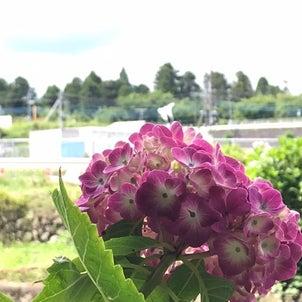 渋川八幡宮近くの あじさいスポット 小野池あじさい公園の画像