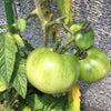 鉢植えのトマトができてます。の画像
