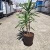 観葉植物 ユッカの植え替えの画像