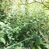 庭の野草でリラックスの画像