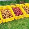 ジャガイモの収穫!の画像