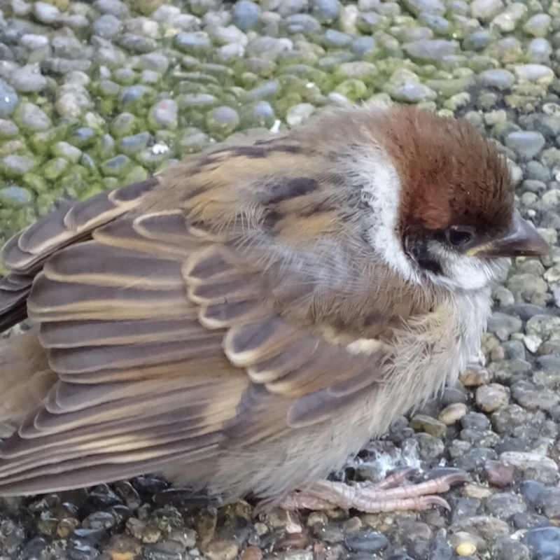 雀の鳴き声 スピリチュアル