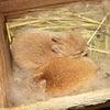 茨城県水戸市にあるウサギ販売店「プティラパン」 ネザーランド『ピルクル』ベビー 6/24生③の画像