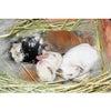 茨城県水戸市にあるウサギ販売店「プティラパン」 ロップ『ラテ』ベビー 6/30生②の画像
