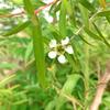 レモンティートゥリーの花芽の画像