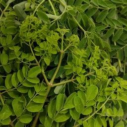 画像 デザートに生葉を使いたい 人と自然に優しい糸満市産モリンガとは(沖縄県) の記事より 5つ目