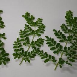 画像 デザートに生葉を使いたい 人と自然に優しい糸満市産モリンガとは(沖縄県) の記事より 4つ目