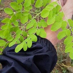 画像 デザートに生葉を使いたい 人と自然に優しい糸満市産モリンガとは(沖縄県) の記事より 2つ目