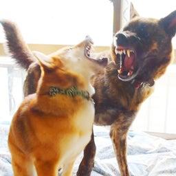 画像 甲斐犬VS柴犬!ガチ喧嘩から数週間隔離後、いよいよ再会させることに!!飼い主、思わず泣きました… の記事より