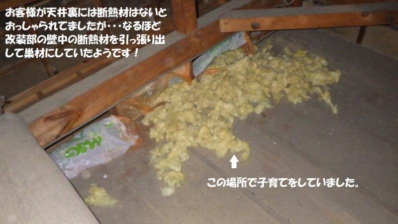 テンが壁中の断熱材をほじくり返して子育ての巣材にしていた