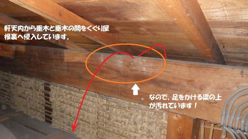 軒天から梁を越えて天井裏に侵入するテンの形跡