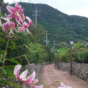 荘厳な甘い香りカノコユリが咲く@下甑島の画像