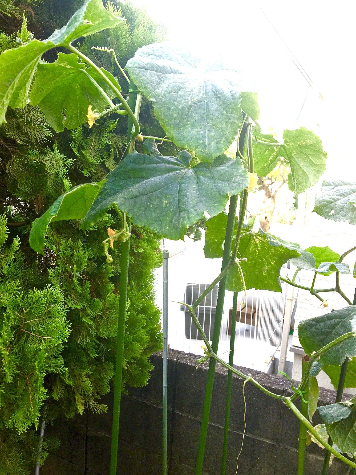 きゅうりの栽培とダリアの鑑賞