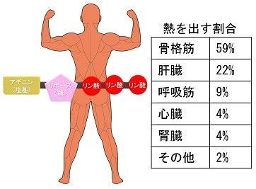 熱を出す割合・ATP・体温