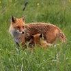 夜華君の選択、小狐たち。