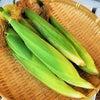 トウモロコシの収穫!の画像