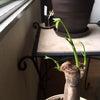 植え替えした観葉植物 その後  パキラ サンセベリアの画像