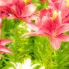りかちゃんとお花いっぱいのポートレート撮影♪③@千種公園の画像