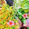 投げ込み花壇の植物達!切り戻したオステオスペルマムも葉っぱ発見♪