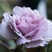 夏のリラ&バラの夏バテ対策*肥料はどうする?