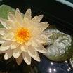 睡蓮3輪咲き