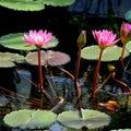 咲くやこの花館 熱帯睡蓮♪