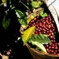 埼玉県羽生市へ全国からコーヒー生豆のお問合せ有難う御座います