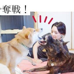 画像 ママの隣は私!甲斐犬と柴犬がお互いやきもち!?と思ったら甲斐犬ハルヱが優しすぎた!! の記事より 1つ目