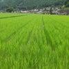 暑さで稲と草がぐんぐん☆の画像