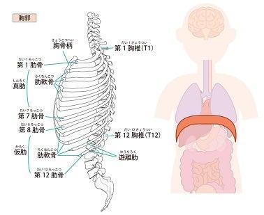 胸郭・横隔膜