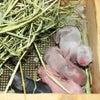 茨城県水戸市にあるウサギ販売店「プティラパン」 ネザーランド『ルイ』ベビー 7/30生①の画像