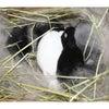 茨城県水戸市にあるウサギ販売店「プティラパン」 ネザーランド『チロル』ベビー 7/23生②の画像