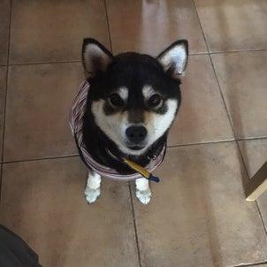 柴犬葵ちゃん㊗️+雑種犬ゴン+フレブル セリーヌの画像