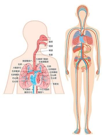血液循環・呼吸