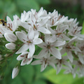 オカトラノオの花です