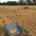 圃場の石拾いとゴミ集め
