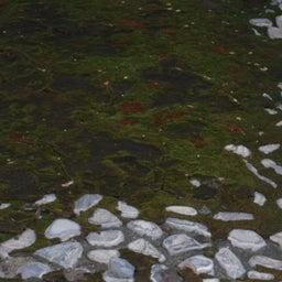画像 第三十七回 ホンモンジゴケ~銅を栄養にして生きる苔~ の記事より 2つ目