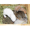 茨城県水戸市にあるウサギ販売店「プティラパン」 ネザーランド『ルイ』ベビー 7/30生②の画像