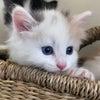 ノルウェージャンフォレストキャットの子猫の画像