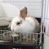 茨城県水戸市にあるウサギ販売店「プティラパン」 ロップ『ラテ』ベビー 6/30生⑦の画像