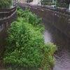 仙川、竜沢寺橋付近の繁茂ふたたびの画像